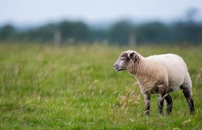 a wet sheep